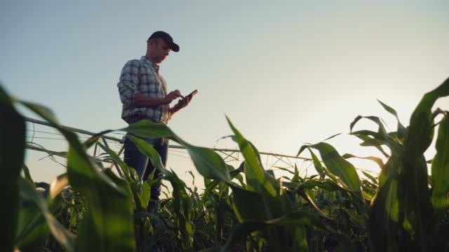 vídeos de stock e filmes b-roll de farmer working in a cornfield, using smartphone - campo