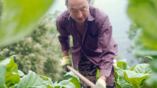 agricoltore che lavora sulle sue colture - nicotina video stock e b–roll