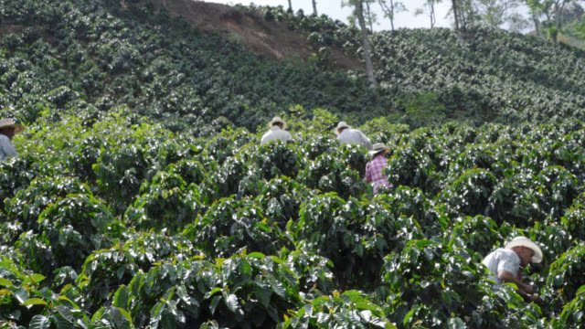 Farmers collecting coffee beans Farmers collecting coffee beans carrying baskets and wearing hats cultivated land stock videos & royalty-free footage