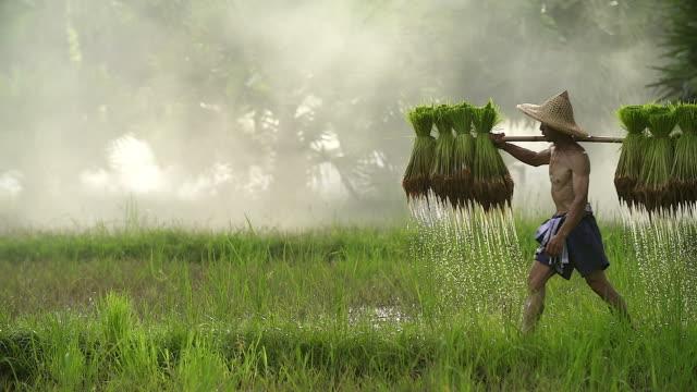 bauern bauen reis in der regenzeit. er war nass, mit wasser und schlamm für die pflanzung vorbereitet werden. - reis getreide stock-videos und b-roll-filmmaterial