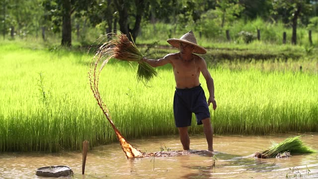 farmers grow rice in the rainy season. he was soaked with water and mud to be prepared for planting. - cambogia video stock e b–roll