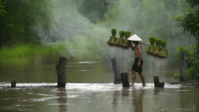 farmers grow rice in the rainy season. he was soaked with water and mud to be prepared for planting. - myanmar video stock e b–roll