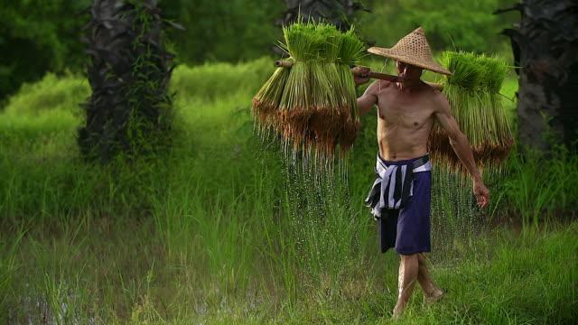odlar ris under regnperioden. han var blöt med vatten och lera ska förberedas för plantering. - risfält bildbanksvideor och videomaterial från bakom kulisserna