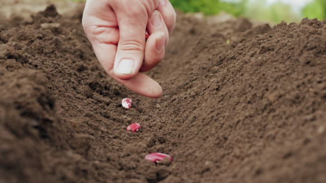 Farmer's hand planting a seed in the soil Farmer's hand planting a seed in the soil. Woman sowing kidney bean seeds in a vegetable garden in springtime. Close-up shot sowing stock videos & royalty-free footage