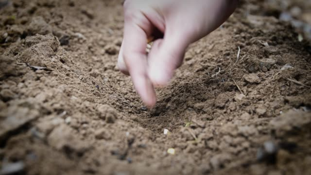 Farmer's hand sowing seeds in field soil