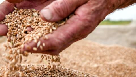 vidéos et rushes de cu farmer's mains des grains de blé examiner - graine