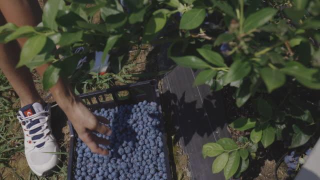 jordbrukare händer skörd blåbär gröda - fruktträdgård bildbanksvideor och videomaterial från bakom kulisserna