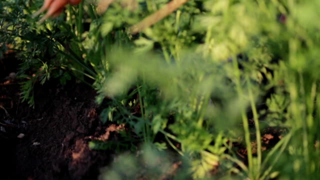 farmers händer plocka skörd av morötter, närbild. - morot bildbanksvideor och videomaterial från bakom kulisserna