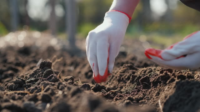 Farmer's hands plant pea seeds in soil video