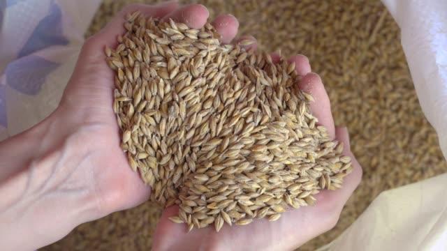 bauernhände gießen weizenkörner in tüte mit ohren. getreideernte. ein agronom betrachtet die qualität von getreide. geschäftsmann überprüft die qualität von weizen. landwirtschaftskonzept. nahaufnahme. - handvoll stock-videos und b-roll-filmmaterial