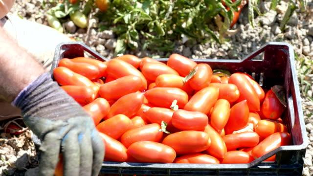 Farmer es Hände setzen holte Tomaten in der Box-Kalabrien, Süditalien – Video