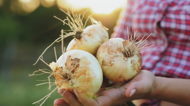 Farmer's hands with fresh onion bulbs in the sun