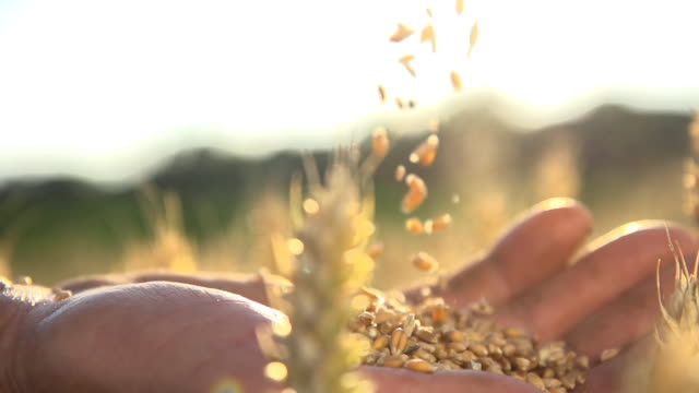 HD SUPER SLOW MO: Farmer's Hands With Wheat Grains HD1080p: SUPER SLOW MOTION shot of farmer's hands dropping wheat grains from one hand to the other. Close Up, Tilt-Down shot from one hand to the other. The clip was color graded to achieve a special film look. wheat stock videos & royalty-free footage