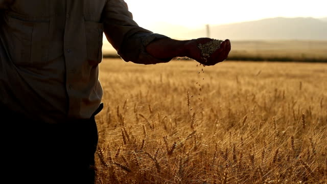 HD SUPER SLOW MO: Farmer's Hands With Wheat Grains video