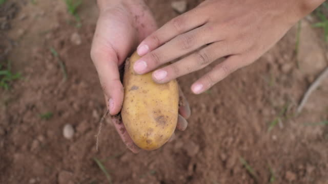 Farmers harvested potatoes buried in the soil. video