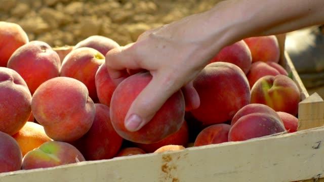 Farmers harvesting organic fruits video