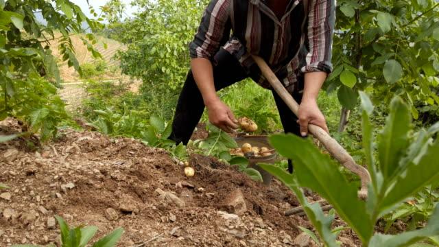 vídeos de stock e filmes b-roll de farmers harvesting potatoe,shaanxi,china. - colheita