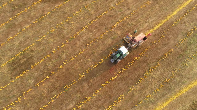 aerial farmers harvesting pumpkins - zucca legenaria video stock e b–roll