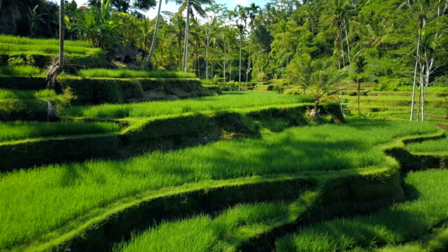 AERIAL Farmers harvesting rice on traditional terraced rice paddy in palm jungle