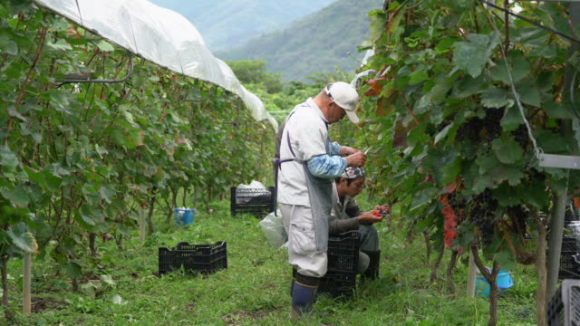 farmers inspecting freshly harvested grapes for any imperfections - sustainable living stock videos & royalty-free footage