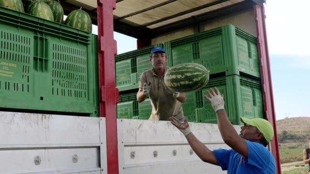 jordbrukare som laddar bara plockade watermelos på lastbil. södra italien - fylld bildbanksvideor och videomaterial från bakom kulisserna