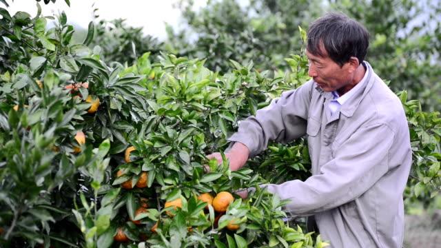 Agricultores recolección en la huerta de naranjas - vídeo