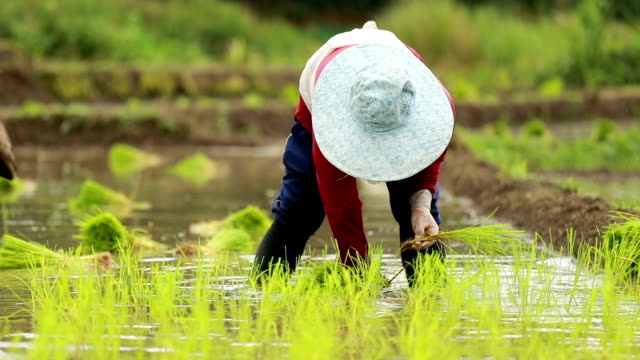 Farmers plant rice in paddy field , slow motion video