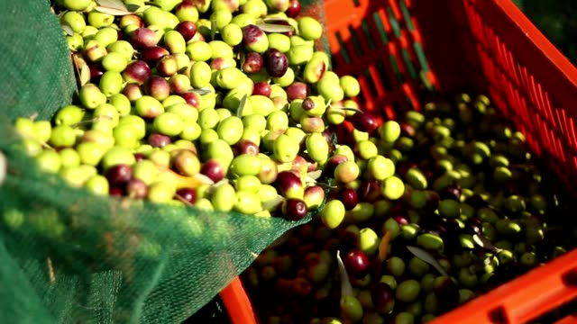 stockvideo's en b-roll-footage met boeren die olijven gieten - olijf