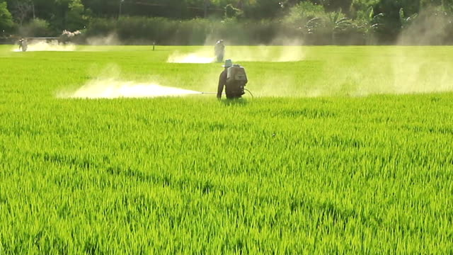 Farmers spraying pesticides in rice fields video