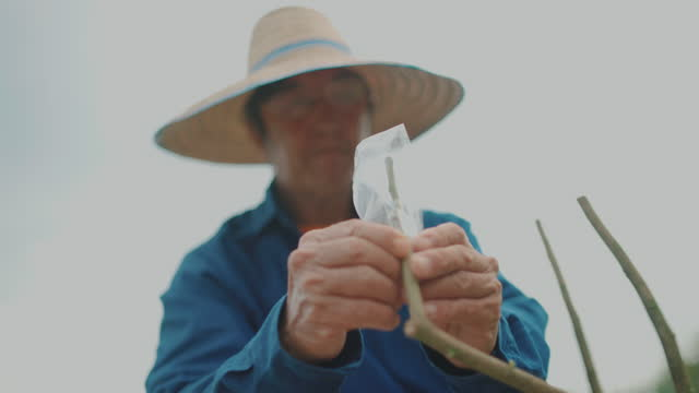 Farmers Starting graft bandaging or striping on plant Starting of graft bandaging or striping on plant branch plant part stock videos & royalty-free footage