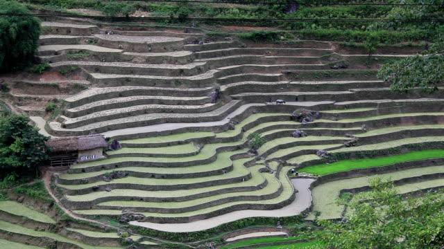 Farmers work in their terraced rice fields video