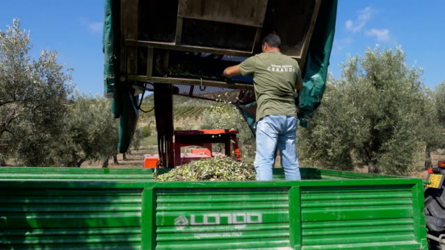 Farmers working in Olive field- Carrying picked olives on truck Farmers working in Olive field- Carrying picked olives on truck olives stock videos & royalty-free footage