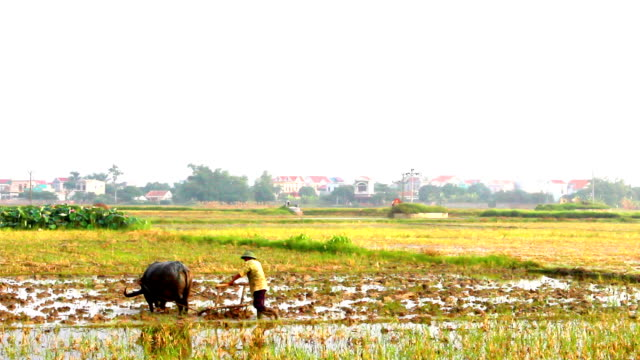 farmers working in the rice fields video