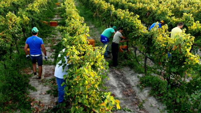 stockvideo's en b-roll-footage met boeren werken in de wijngaard-opruiming druiven-augustus 2017, strongoli, italië - organische boerderij