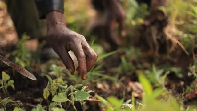 vídeos y material grabado en eventos de stock de agricultores que trabajan en la granja africana rural - cosechar