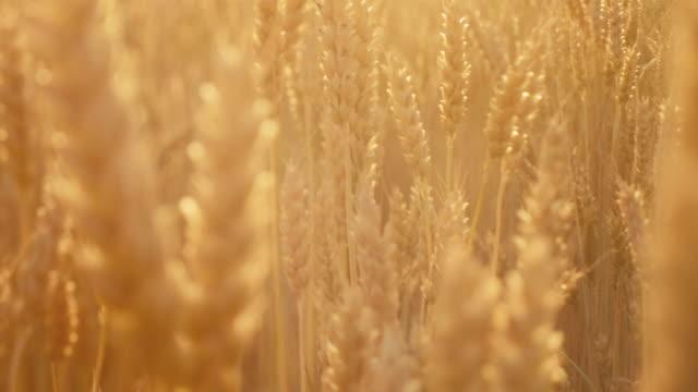 farming industry golden wheat field stem spikelet - gospodarstwo ekologiczne filmów i materiałów b-roll