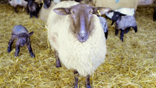farming: sheep and lambs in barn - farm animals stock videos and b-roll footage