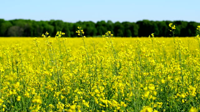 farmland with blooming canola. - colza video stock e b–roll