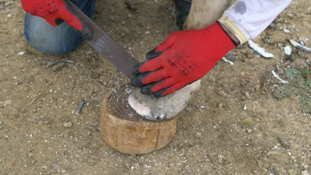 Farrier attaches horseshoe to the hoof with nails video
