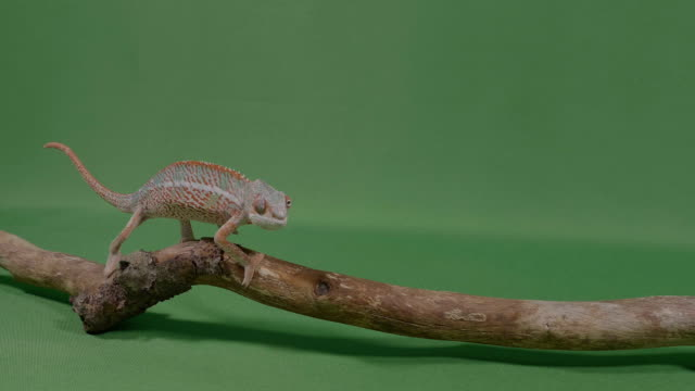 Fascinating exotic chameleon lizard crawling along a branch on green screen