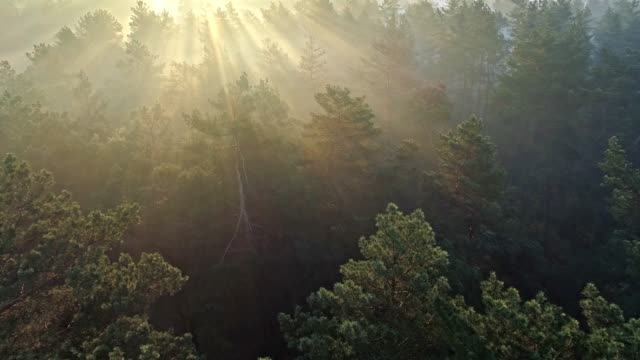 fast aerial shot of a misty pine forest in the morning. sun rays coming through trees. - trees in mist stock videos & royalty-free footage