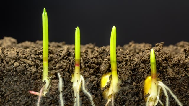 Fast growing corn, roots and leaves growing from the earth, time lapse video 4K resolution clip. One axis linear camera motion.