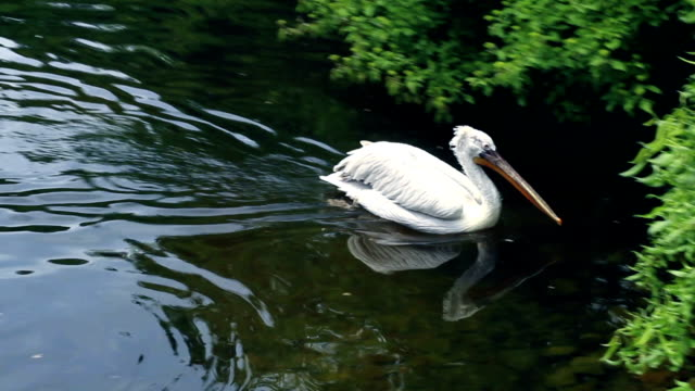 Fast swimming of white pelican to zoological park lake coast. video