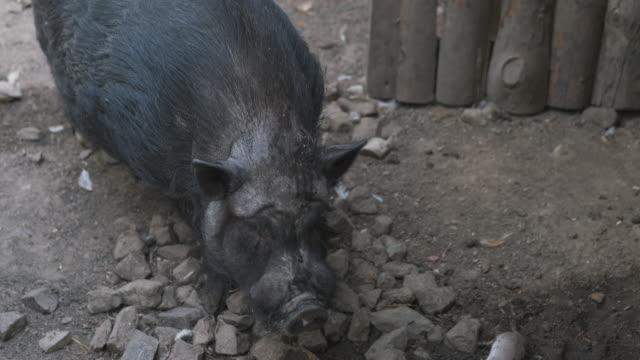 Fat black pig.