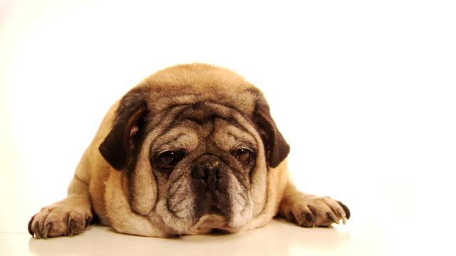 脂肪の犬 - 怠惰点の映像素材/bロール