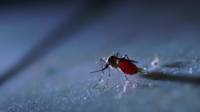 fette mücke auf dem boden - moskitonetz stock-videos und b-roll-filmmaterial