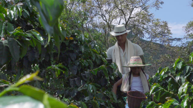 father and daughter walking through a coffee crop looking for coffee beans - coffee farmer video stock e b–roll