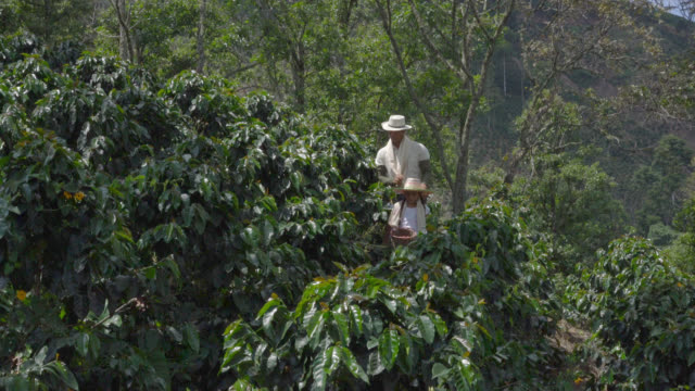 father and daughter walking through a coffee crop plantation - coffee farmer video stock e b–roll