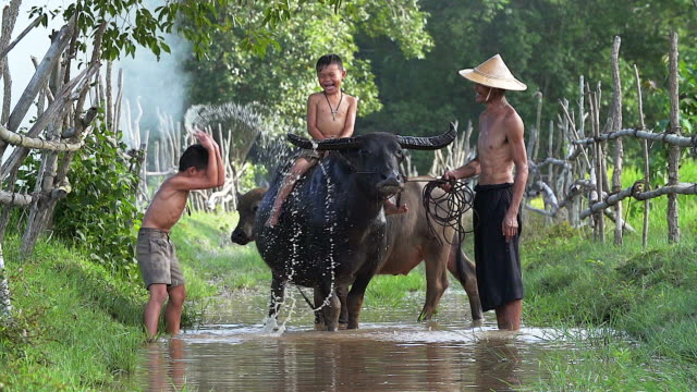 Father and son cheerful playing water splash with a buffalo on the field.Illustrate of lifestyle of asian developing countries. video