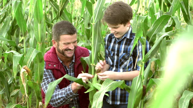 Father and son on family farm, inspecting corn in field